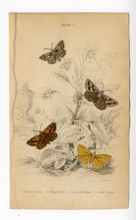 1836 BUTTERFLIES JARDINES Antique PRINT SKIPPER Butterfly ENGRAVED by WILLIAM LAZARS Hand Col.